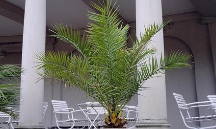1, 2 ou 4 palmiers des Canaries arrivant jusquà 140 cm