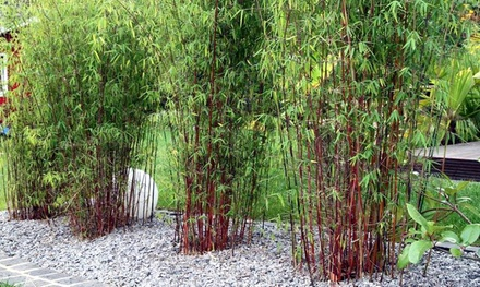Set de 3 ou 6 plantes Bambou rouge Fargesia Asian Wonder 30 40cm